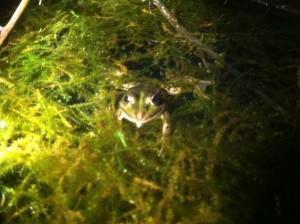 La grenouille verte bien cachée!