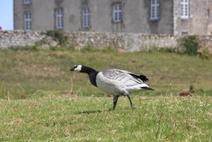 Visite d'une bernache au château de Bourgon