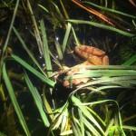 La grenouille agile