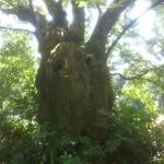 Arbre remarquable : châtaignier de + de 300 ans