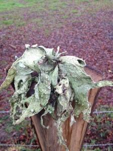 Lobaria pulmonaria - lichen